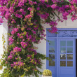Flowering bougainvillea at the door — Stock Photo
