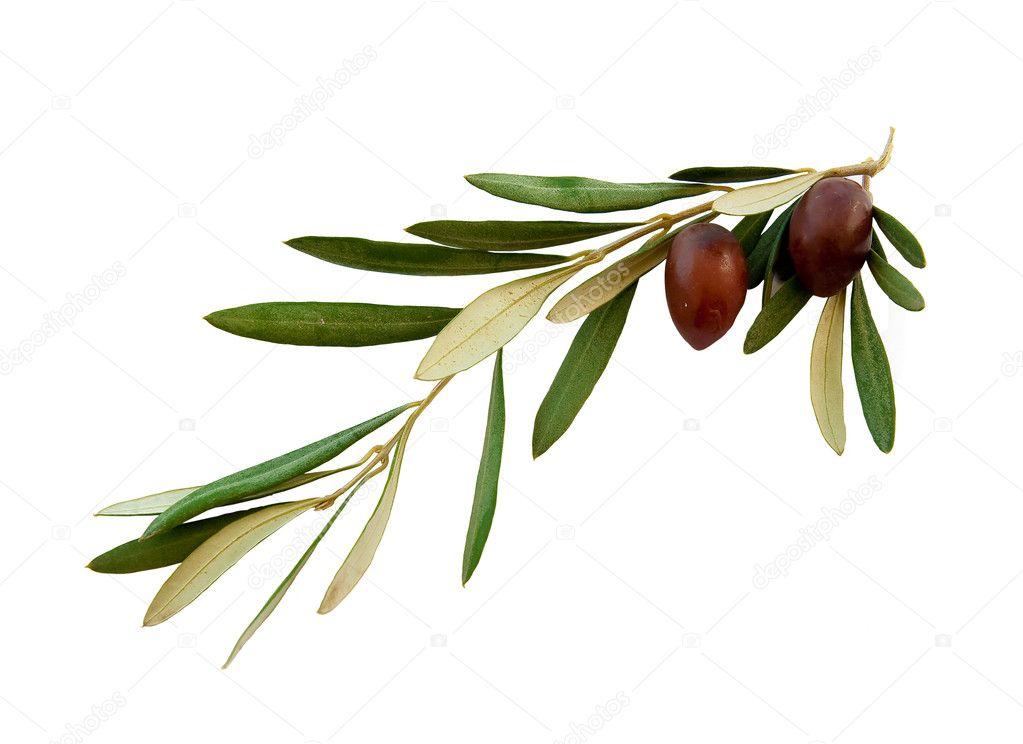 Olive branch � Stock Photo � Asteri #1518386