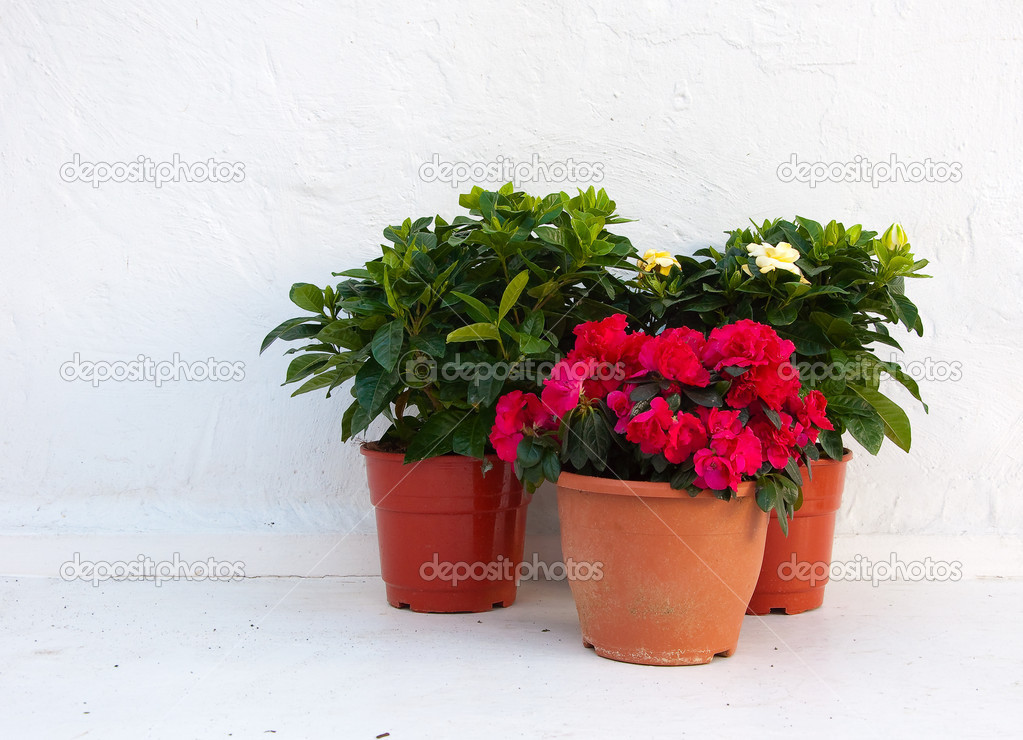 Three pots of flowers at a white wall — Stock Photo © Asteri ...