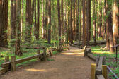 Armstrong Redwood Forest — Stock Photo