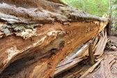 Fallen Redwood Tree — Stock Photo