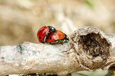 Ladybug mating — Stock Photo