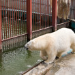 Walking near pool white polar bear in zoo — Stock Photo