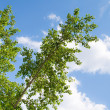 Stock Photo: Poplar branches on cloudy sky