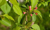 Branch of apple tree with red buds — Stock Photo
