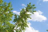 Poplar branches on cloudy sky — Stock Photo