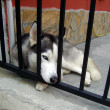 Young husky. — Stock Photo #1376620