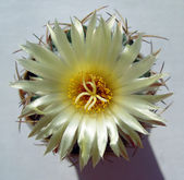 Cactus flower with nacred luster. — Stock Photo