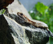 Lizard on stones. — Stock Photo