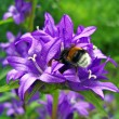 Bumblebee on bluebell. — Stock Photo