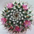 Cactus with pink flowers. - Stock Photo