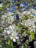 Blossoming pear tree. — Stock Photo