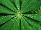 Lupine met druppels na regen. — Stockfoto