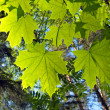 Stock Photo: Foliage of maple. Background.