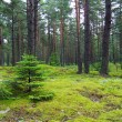 Young firs in pine forest. — Stock Photo