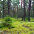 Stock Photo: Young firs in pine forest.