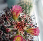 Cactus with pink flowers. — Stock Photo