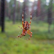 Stock Photo: Spider in forest.