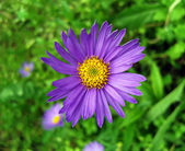 Violet alpine aster . — Stock Photo