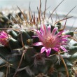 Stock Photo: Flower of cactus.