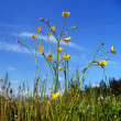 Stock Photo: Buttercups on meadow.