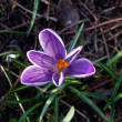 Spring lilac crocus. — Stock Photo