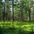 Stock Photo: Pine forest.