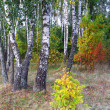 Birch grove in autumn. — Stock Photo