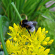 Bumblebee on yellow flowers. — Stock Photo