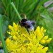 Bumblebee on yellow flowers. — Stock Photo #1488655