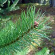 Sparkling drops on pine needles. — Stockfoto #1488691