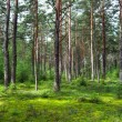 Royalty-Free Stock Photo: Coniferous forest.