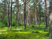 Coniferous forest. — Stock Photo