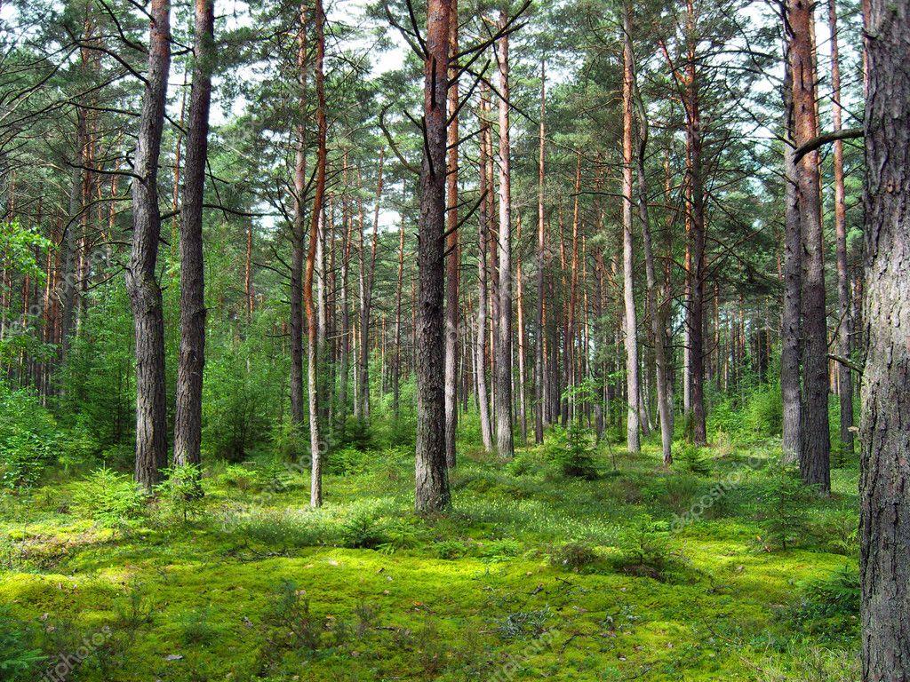 Фотообои Coniferous forest.