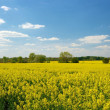 Rape field — Stock Photo #1336613