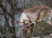 Reindeer — Stock Photo