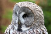 Owl head — Stock Photo