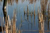 Detail of a swamp with reed and a piece of wood in the water — Stock Photo