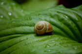 Snail on a green leave — Stock Photo