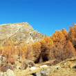 Autumn larches on mountain - Stock Photo