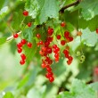 Royalty-Free Stock Photo: Red ribes