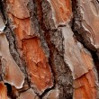 Stock Photo: Pine cortex