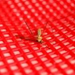 Dead mosquito — Stock Photo