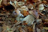 Pair of mushrooms — Stock Photo