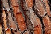 Pine cortex — Stock Photo