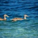 Goose pair. Orta lake, Italy — Stock Photo #1901205
