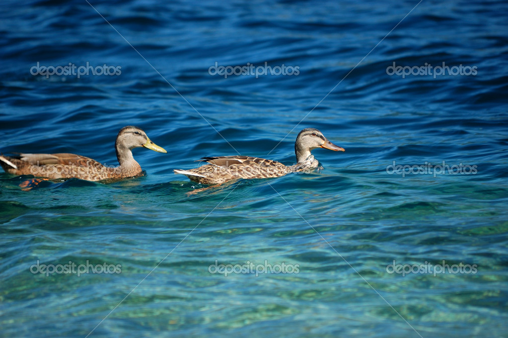 Goose pair in the Orta lake water, Italy — Stock Photo #1901205