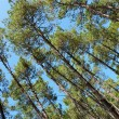 Stock Photo: Pine trees in summer blue sky
