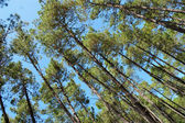 Pine trees in the summer blue sky — Stock Photo