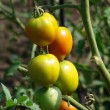 Growing Tomatoes — Stock Photo